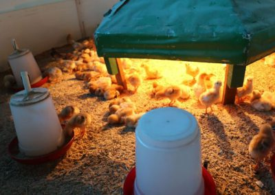 Livestock(Poultry)